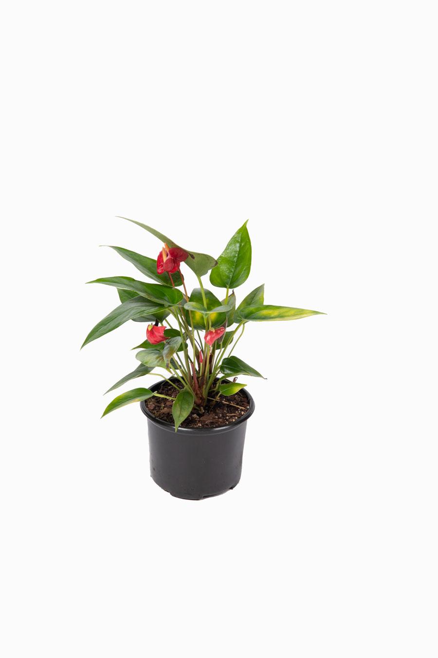 Anthurium – Tamaños varios