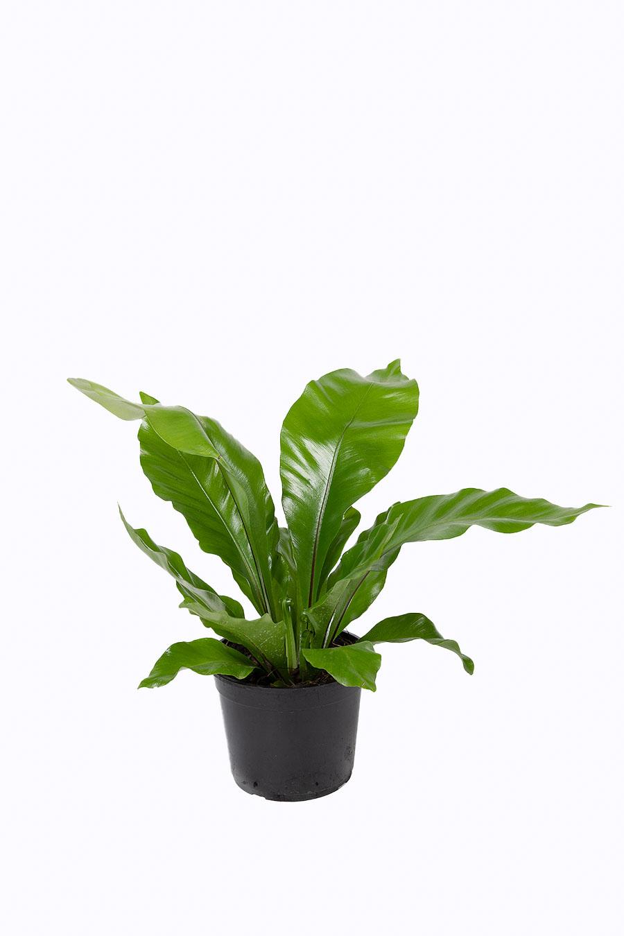 Asplenium nidus maceta 15 cm