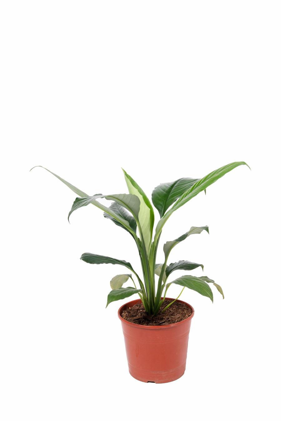 Spathiphyllum – Tamaños varios