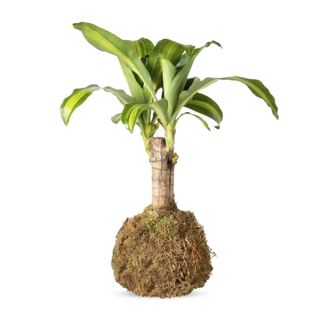 Plantas Faitful Kokedama Kokedama Dracaena Massangeana 1 - Plantas Faitful