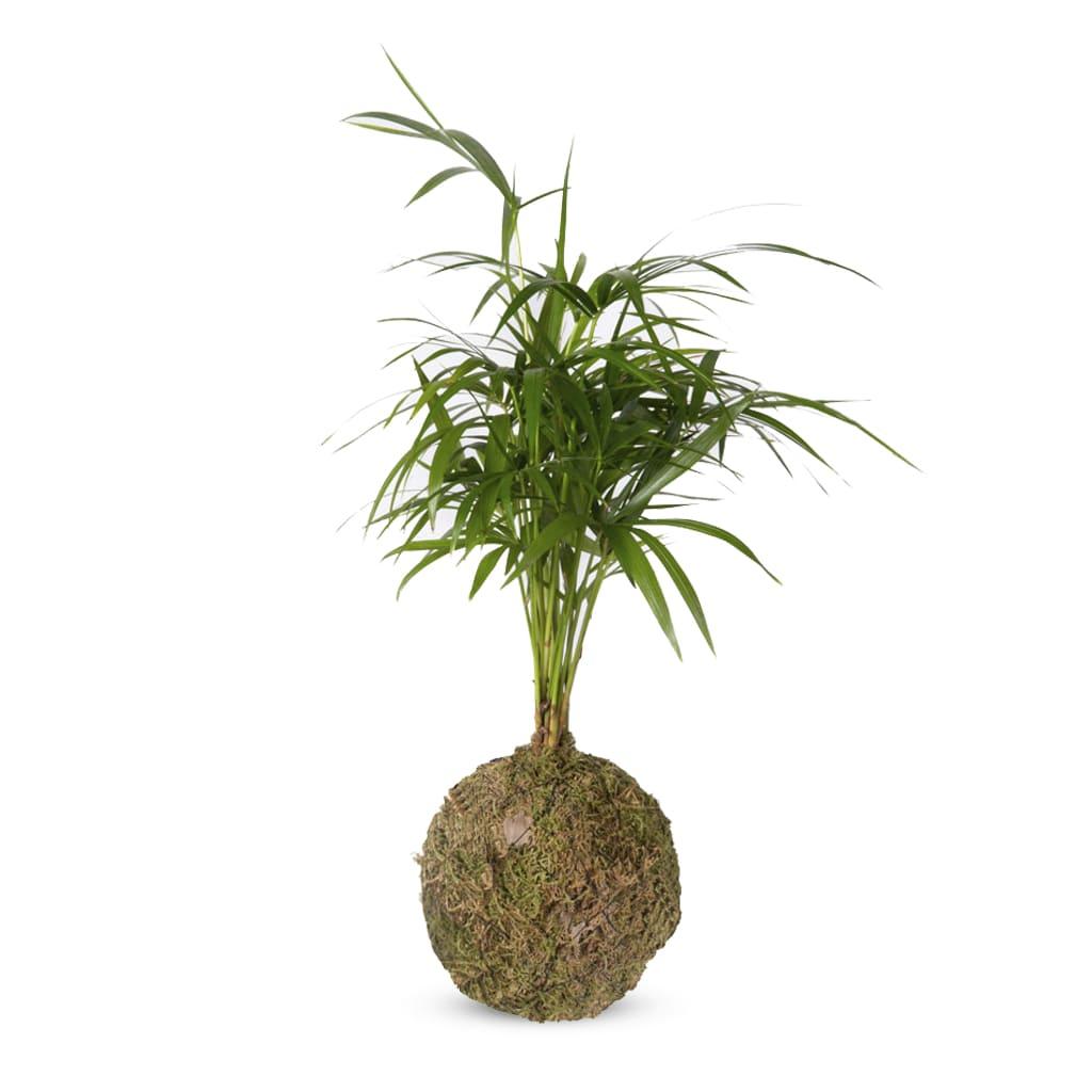 Plantas Faitful Kokedama Kokedama Palmito - Plantas Faitful