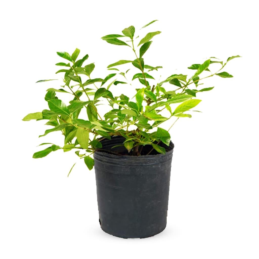 Plantas Faitful Plantas Exterior Duranta E3 1 - Plantas Faitful