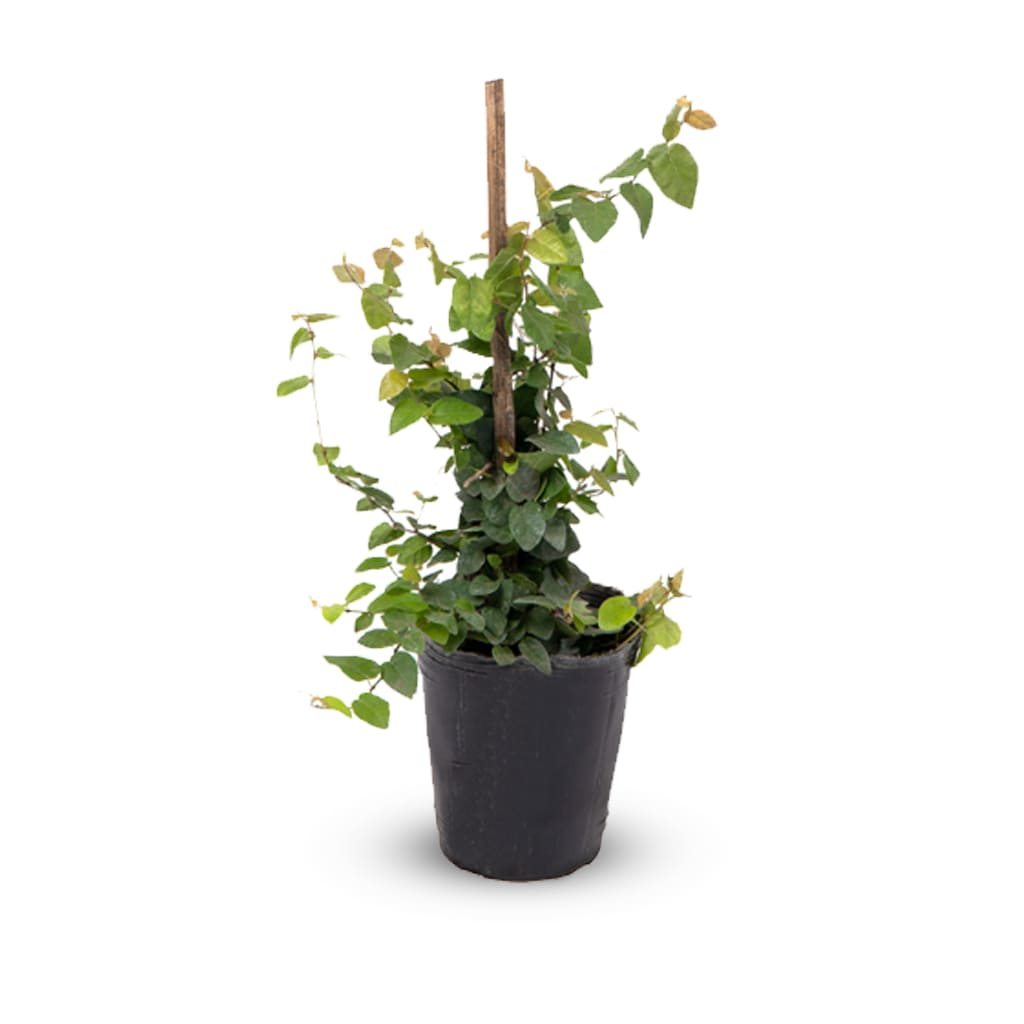 Plantas Faitful Plantas Exterior Enamorada del Muro M12 1 - Plantas Faitful
