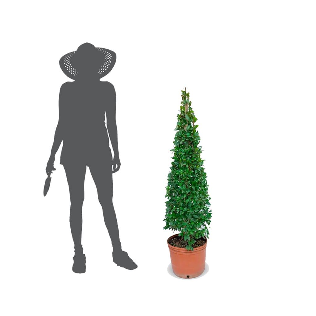 Plantas Faitful Plantas Exterior Eugenia Piramidal E10 1 1 - Plantas Faitful
