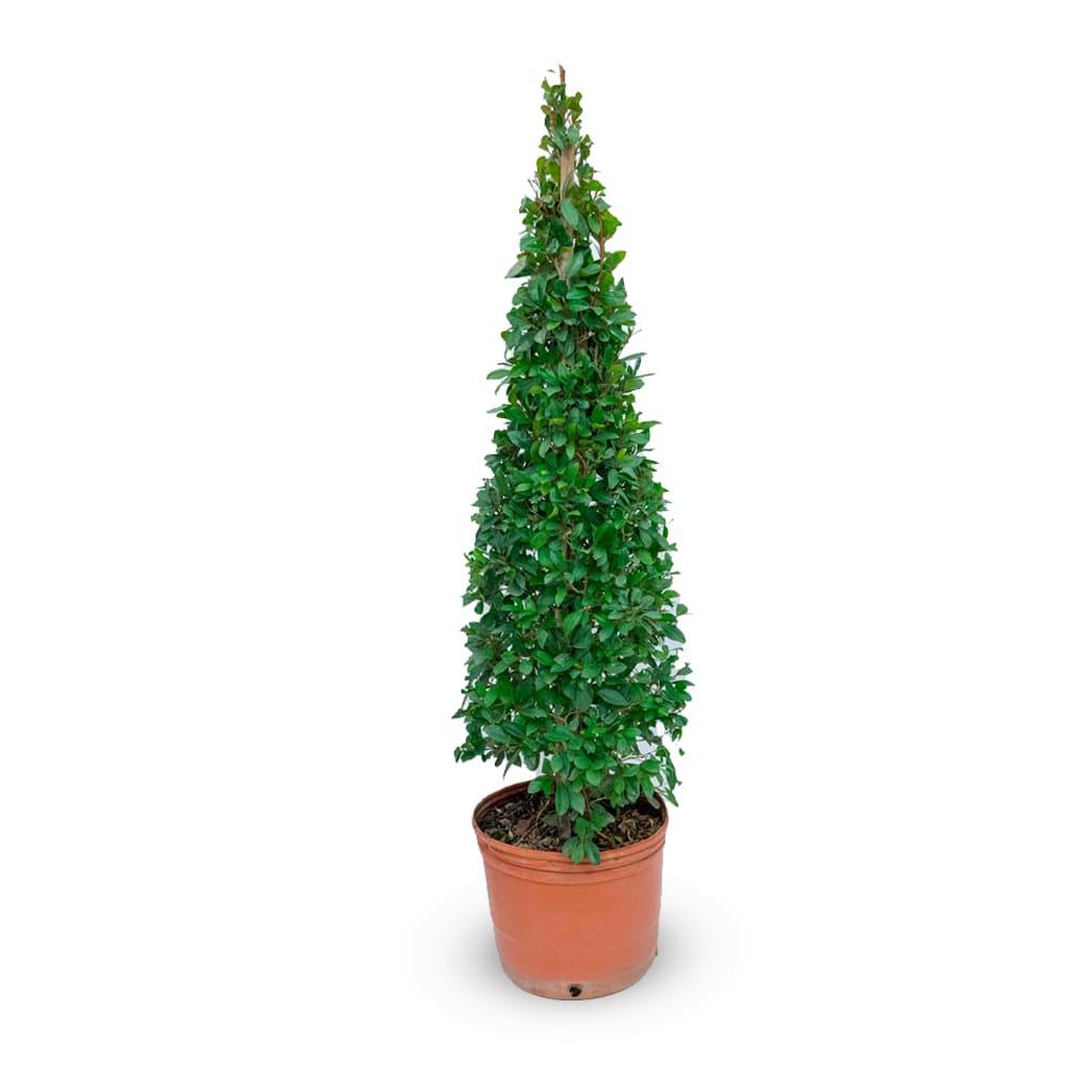 Plantas Faitful Plantas Exterior Eugenia Piramidal E10 - Plantas Faitful