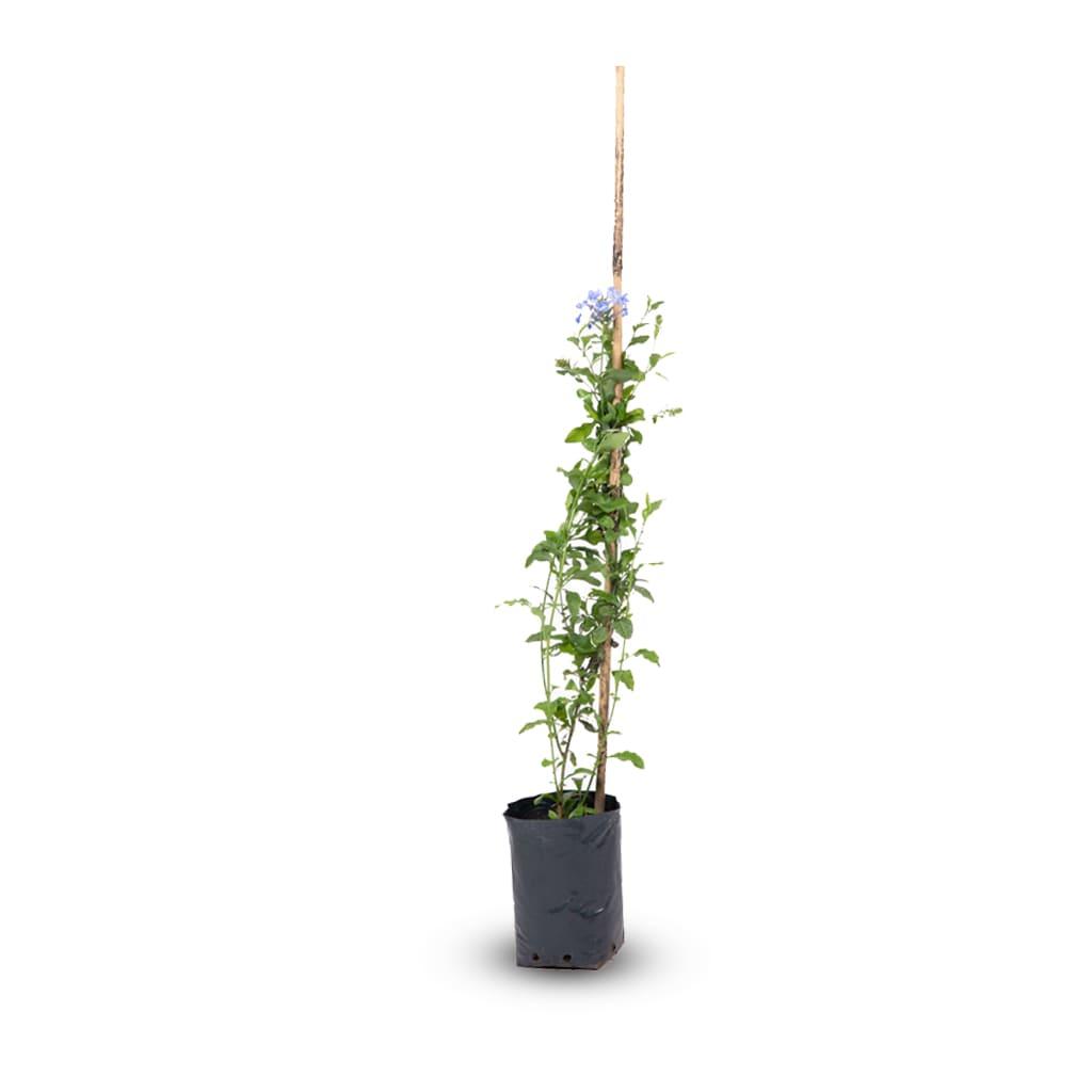 Plantas Faitful Plantas Exterior Jazmin del Cielo E3 - Plantas Faitful