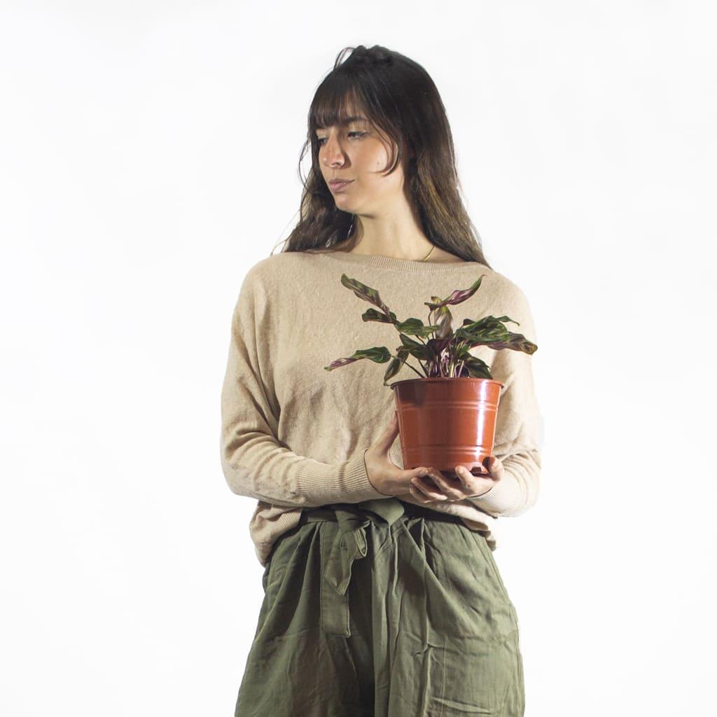 Plantas Faitful Plantas Interior Calathea Makoyana M14 Dimension - Plantas Faitful
