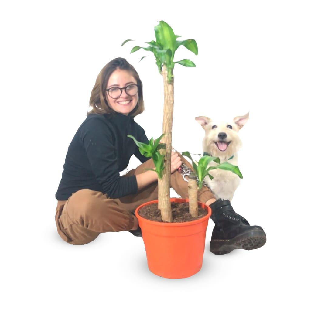 Plantas Faitful Plantas Interior Dracaena Massangeana M25 Dimension - Plantas Faitful