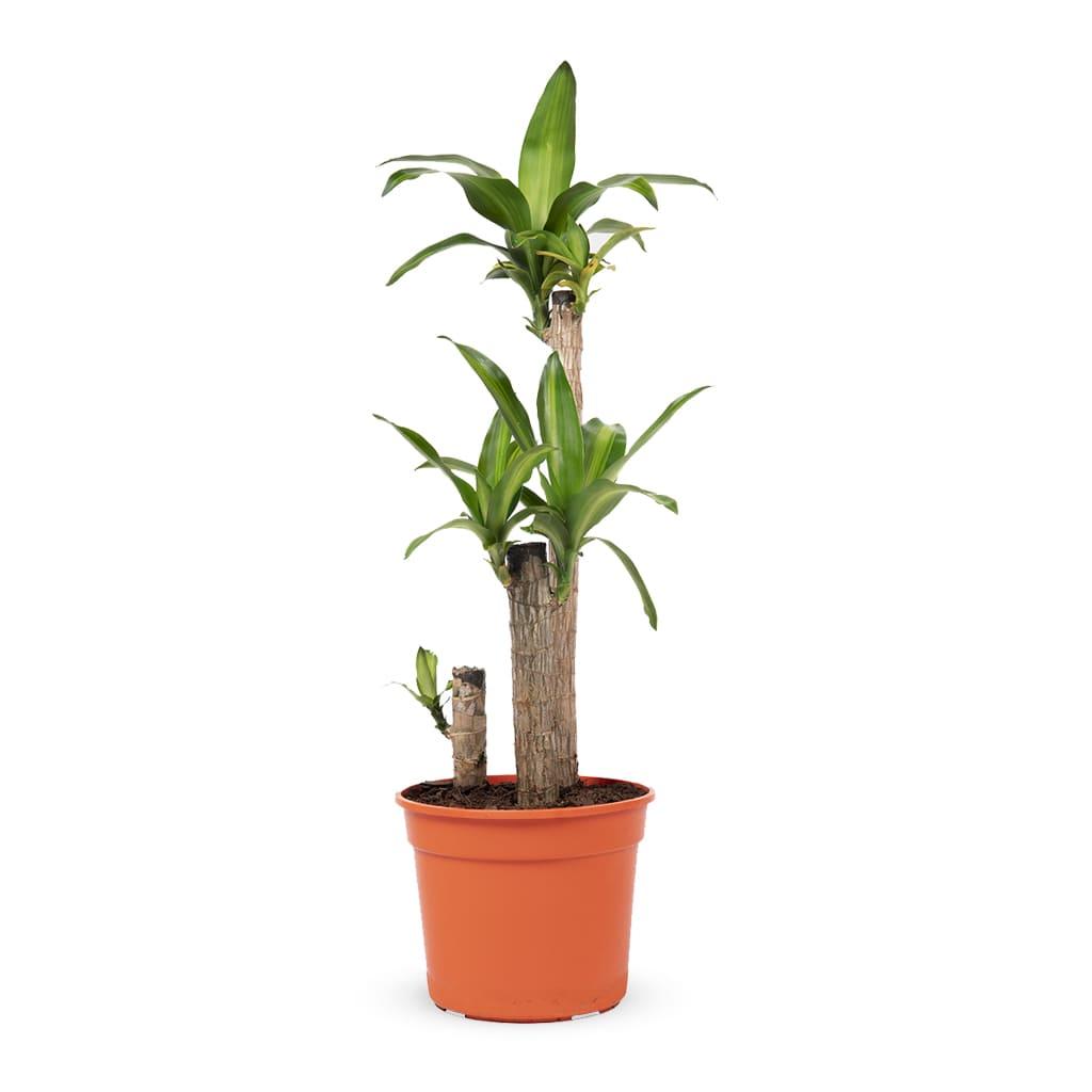Plantas Faitful Plantas Interior Dracaena Massangeana M25 - Plantas Faitful
