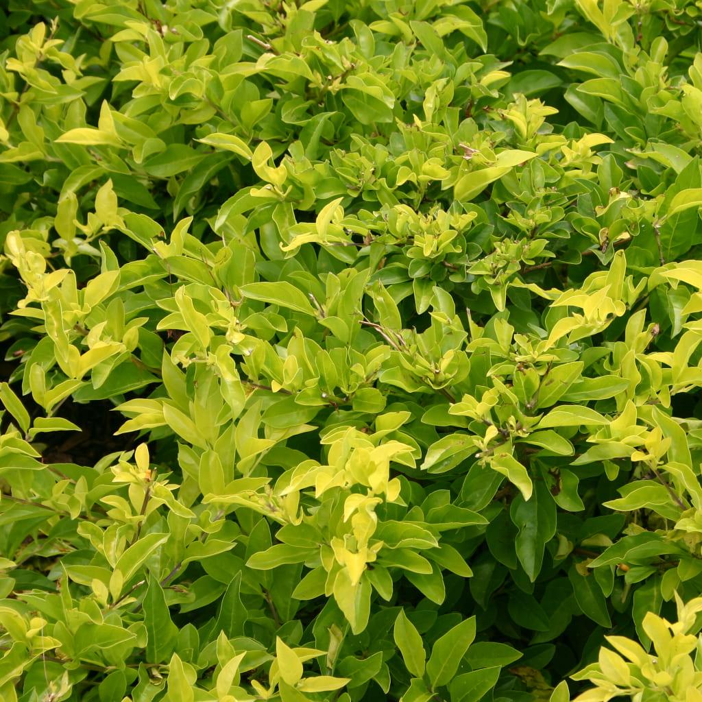 Plantas Faitful Plantas Interior Duranta E3 1 - Plantas Faitful