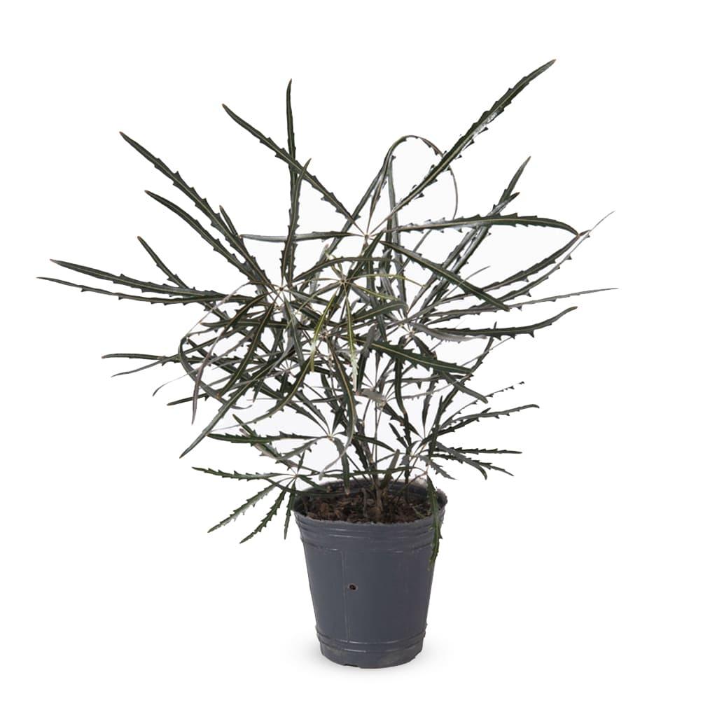 Plantas Faitful Plantas Interior Dyzifotheca M12 1 - Plantas Faitful