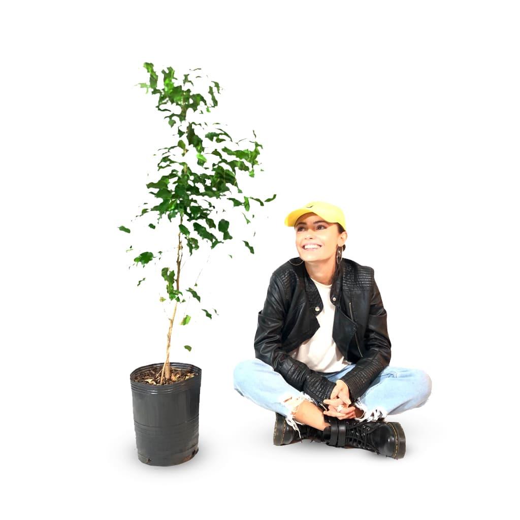 Plantas Faitful Plantas Interior Ficus Benjamina E7 Dimension - Plantas Faitful