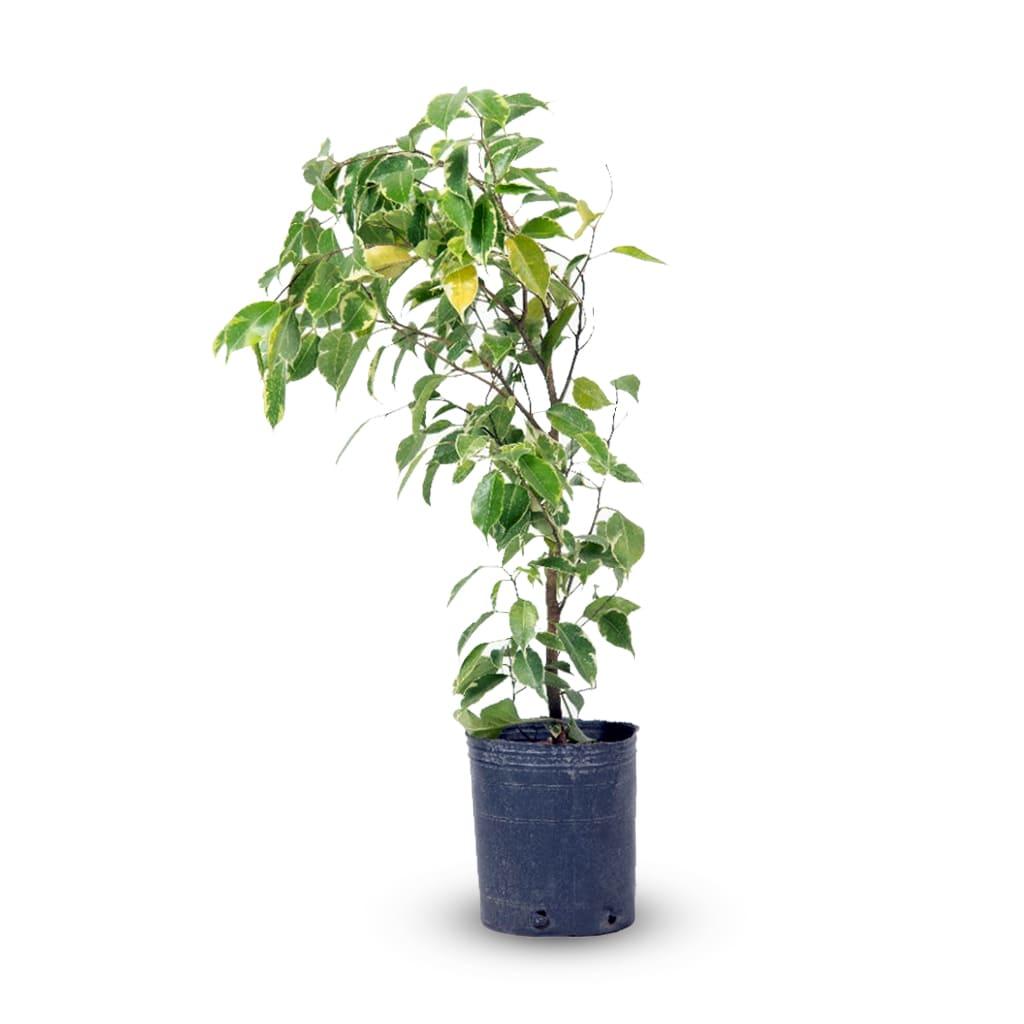 Plantas Faitful Plantas Interior Ficus variegado E3 - Plantas Faitful