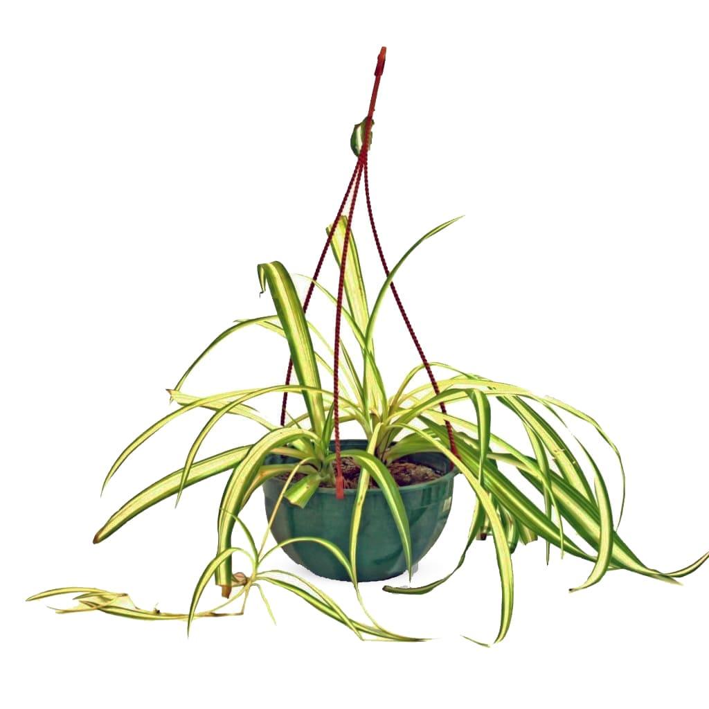 Plantas Faitful Plantas Interior Lazo de Amor B18 - Plantas Faitful