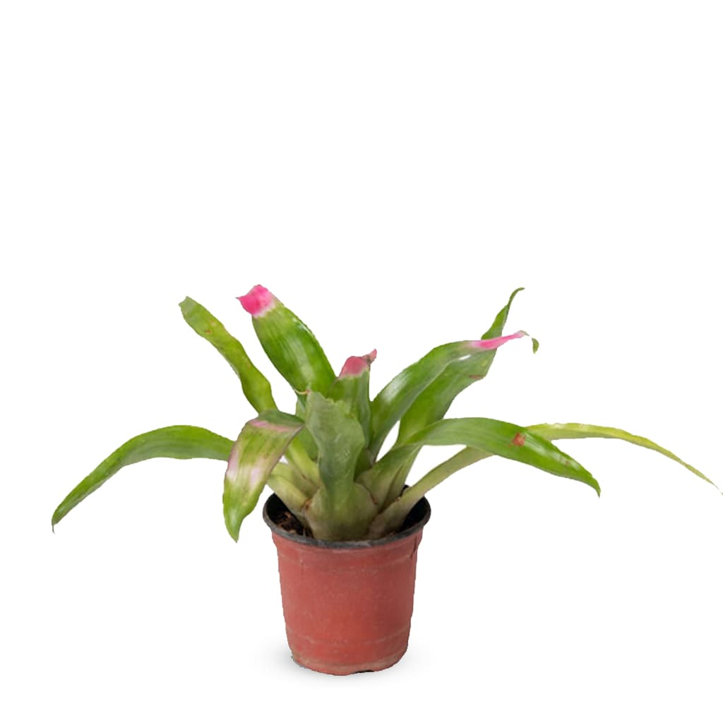 Plantas Faitful Plantas Interior Nidularium M11 2 - Plantas Faitful