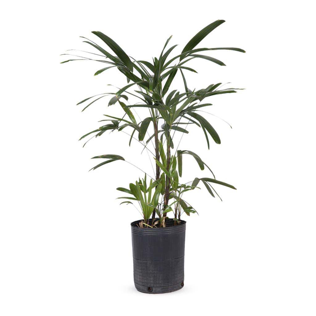 Plantas Faitful Plantas Interior Raphis E5 1 - Plantas Faitful