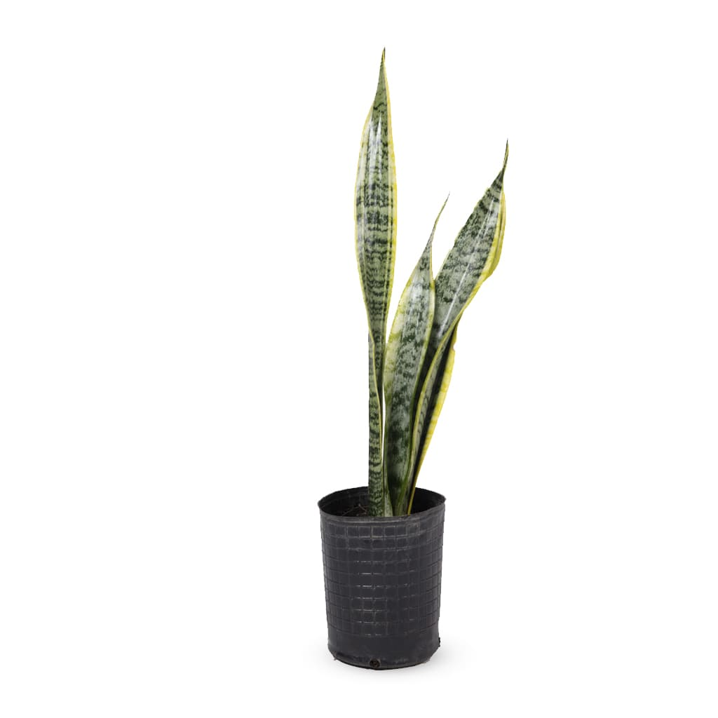 Plantas Faitful Plantas Interior Sanseviera E3 - Plantas Faitful