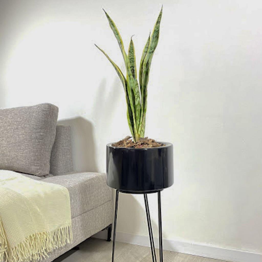 Plantas Faitful Plantas Interior Sanseviera variegada E3 3 - Plantas Faitful
