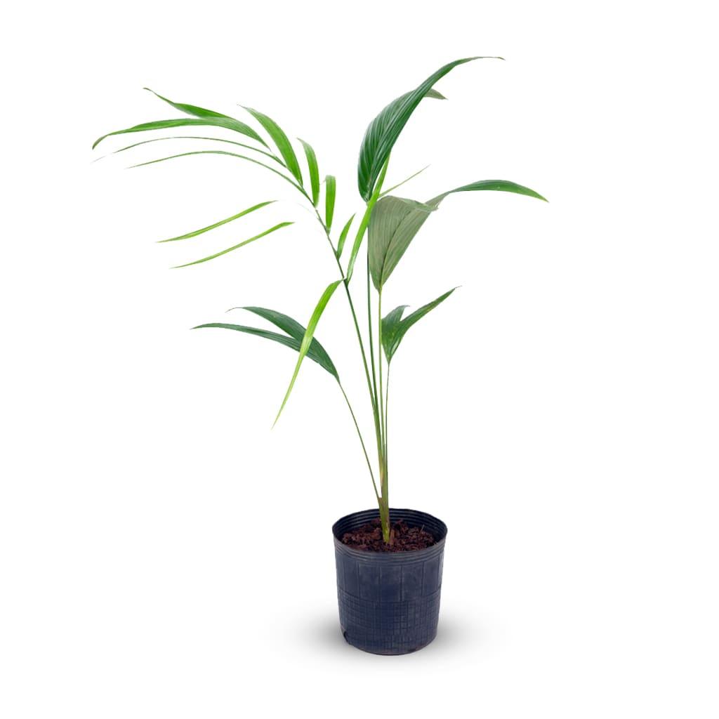 Plantas Faitful Plantas Interior Seaforthia E3 - Plantas Faitful