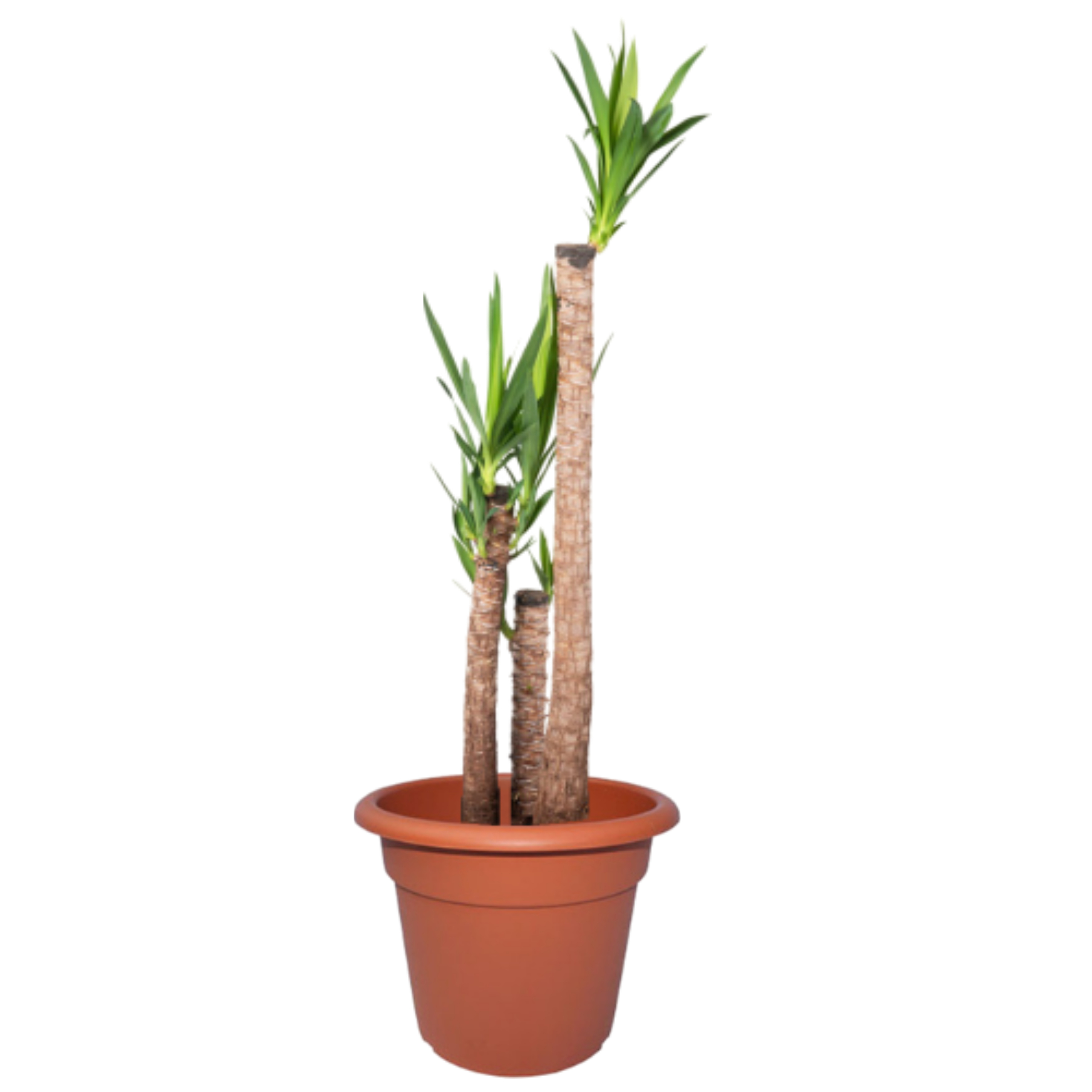 Yucca – Tamaños varios