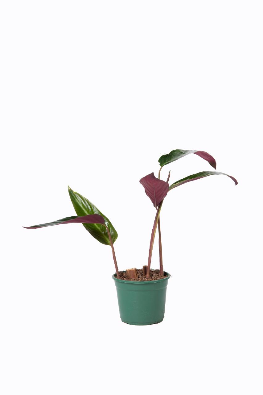 Calathea stromanthe sanguinea en maceta de 16 cm