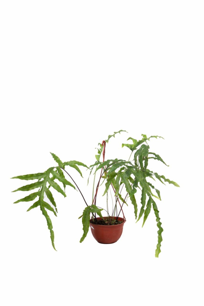 Polypodium en bols de 18 cm