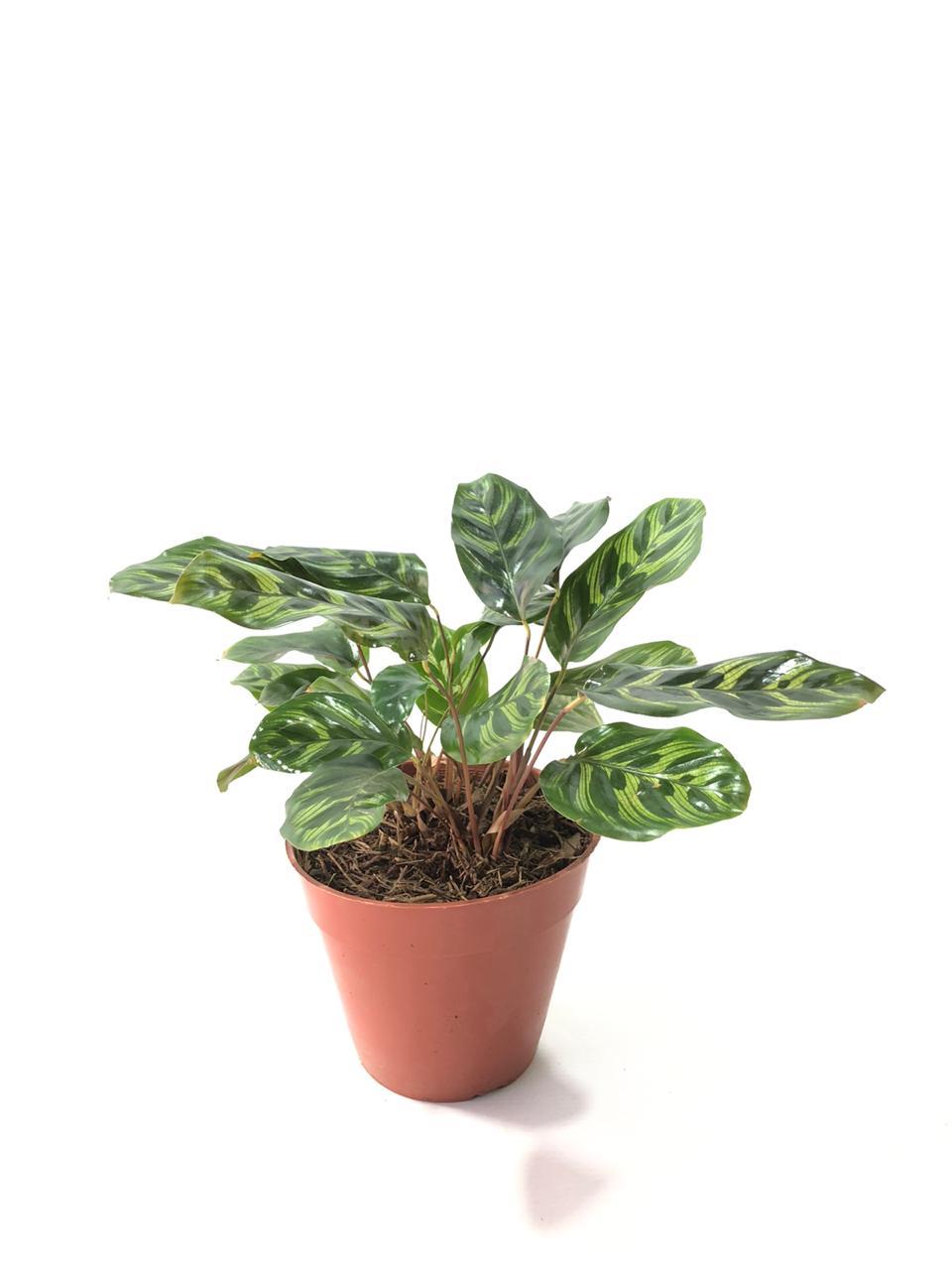 Calathea makoyana en maceta 14 cm