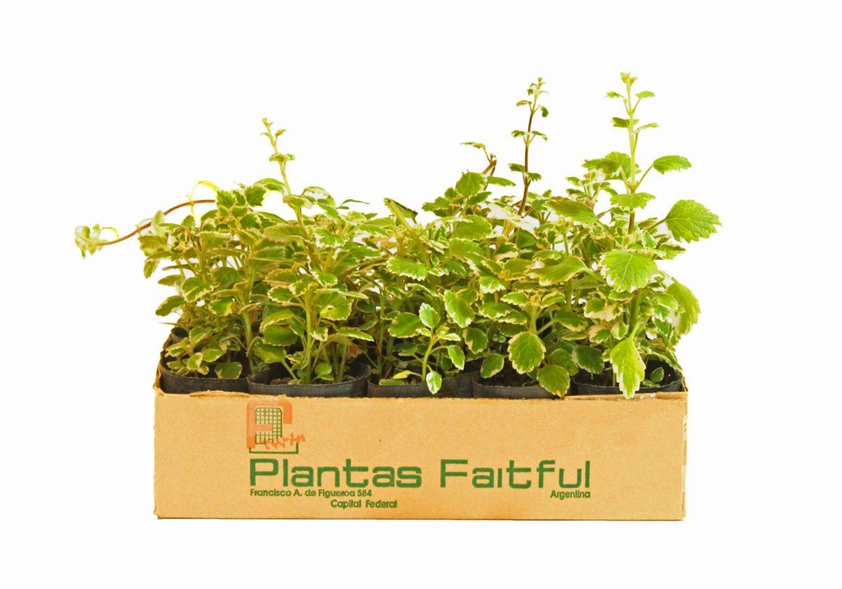 17 scaled - Plantas Faitful