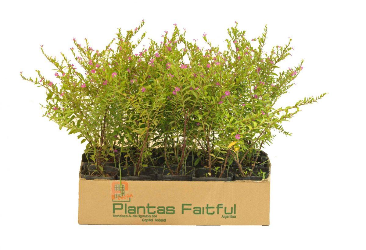 20 scaled - Plantas Faitful