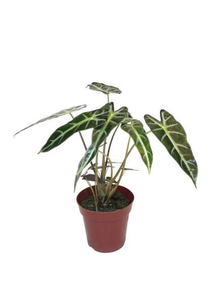 Alocasia amazónica en maceta de 13 cm