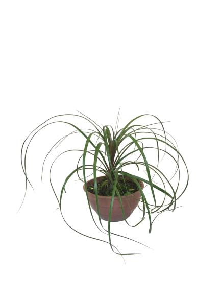 Beaucarnea en bols de 18 cm