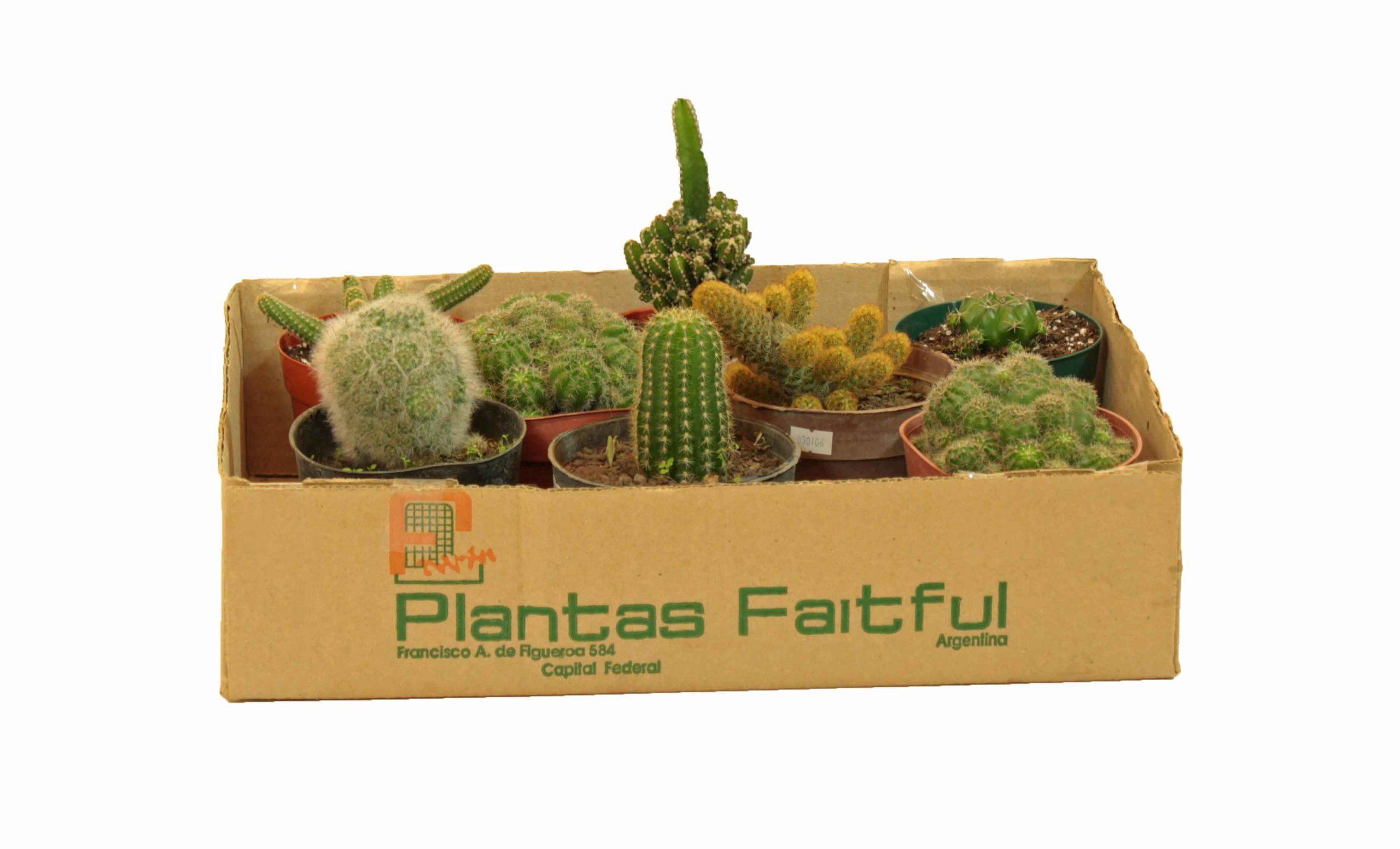 Cactus variados en maceta de 11 cm – 8 unidades