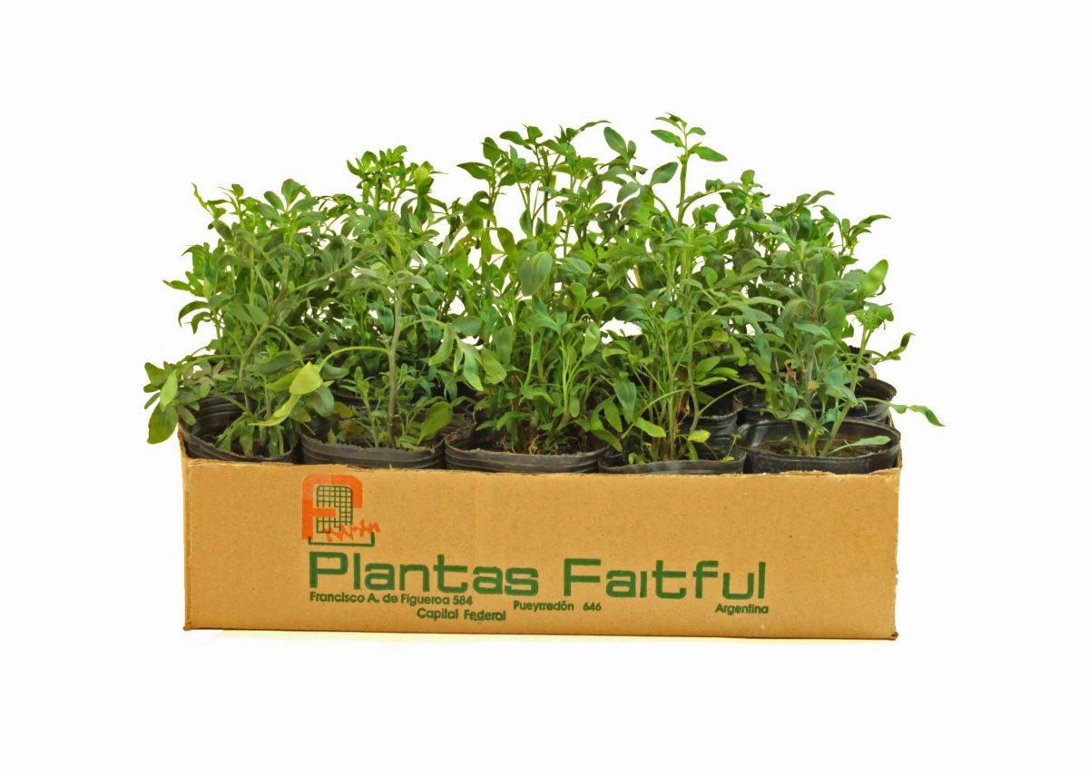 9 1 scaled - Plantas Faitful