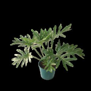 Philodendron Xanadu (misionero) maceta 30 cm