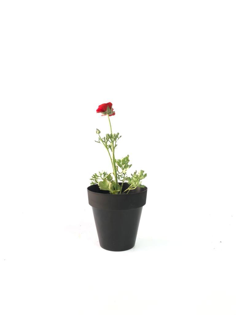 Marimonia maceta 12 cm