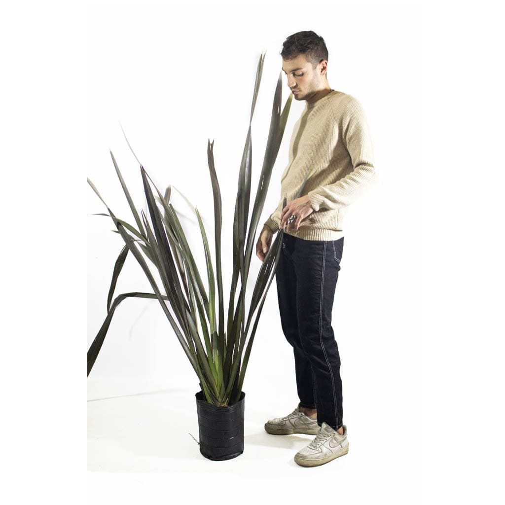 Plantas Faitful Plantas Exterior Formio Rubra E4 Dimension 1 - Plantas Faitful