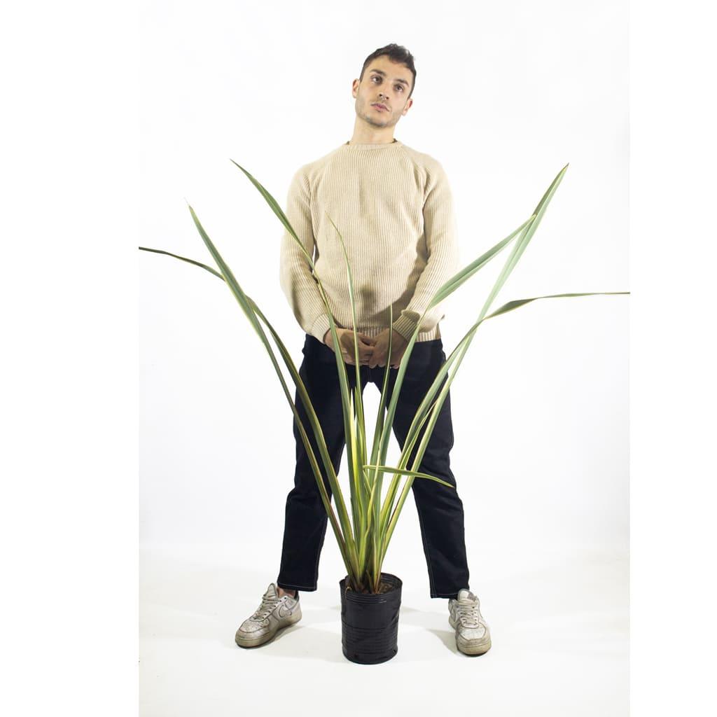 Plantas Faitful Plantas Exterior Formio Variegado E4 Dimension 1 - Plantas Faitful