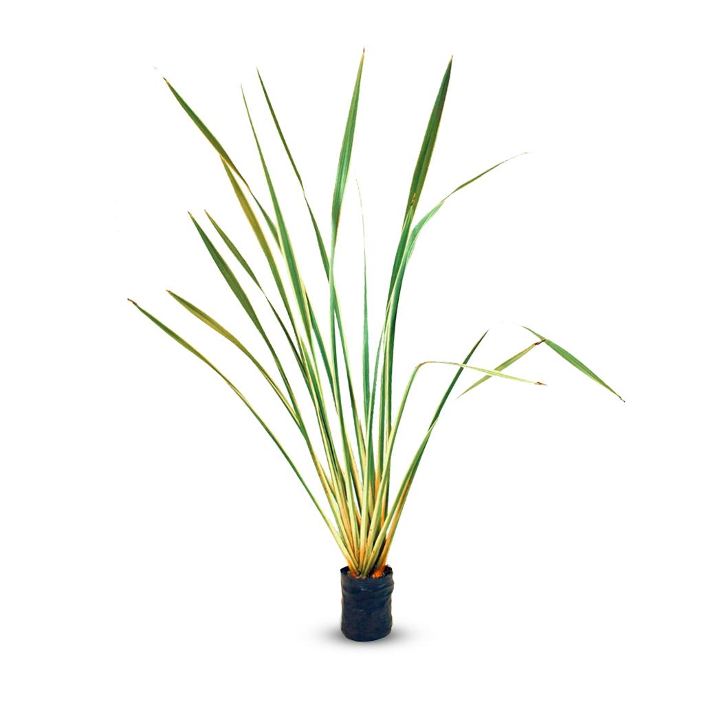 Plantas Faitful Plantas Exterior Formio Variegado E4 - Plantas Faitful