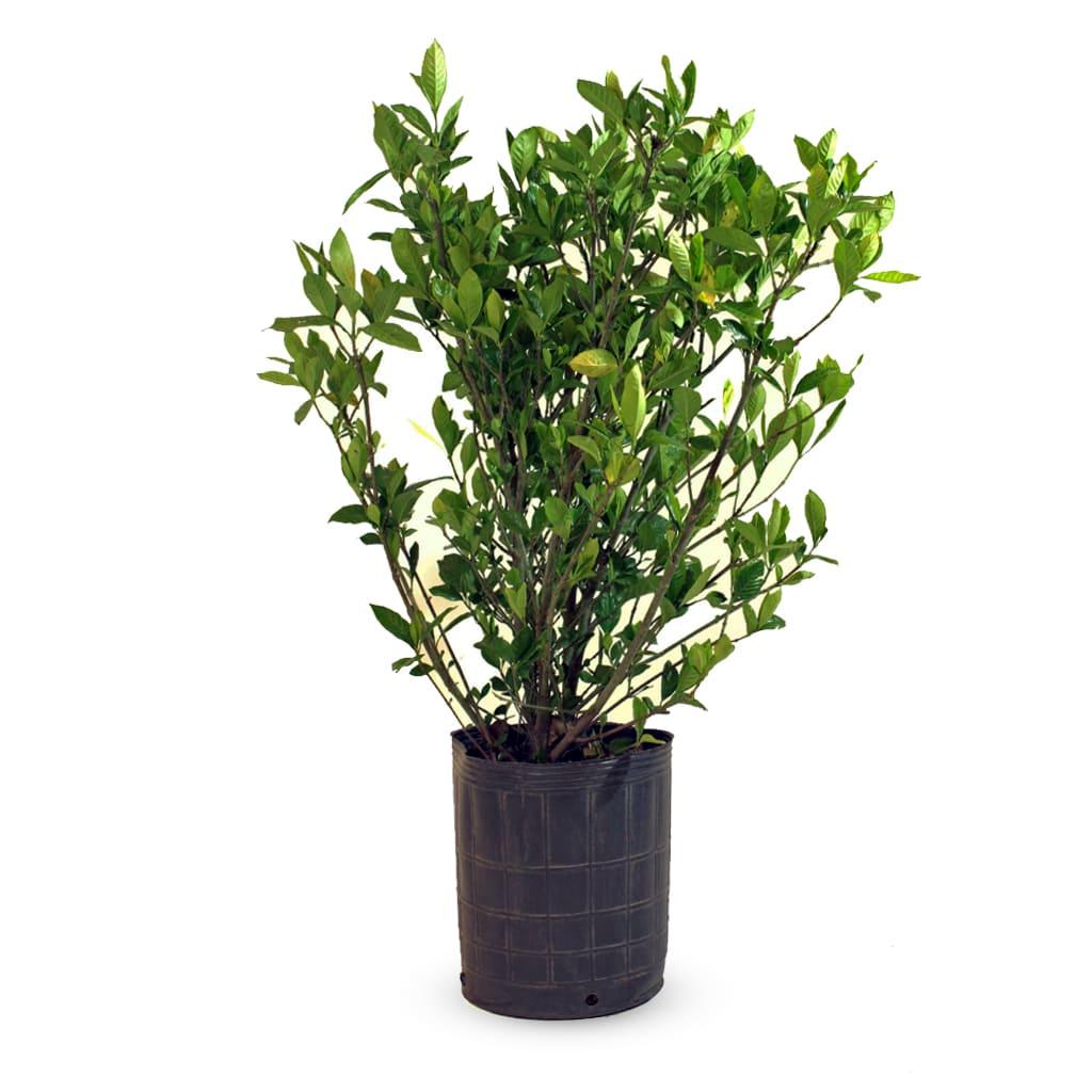 Plantas Faitful Plantas Exterior Jazmin del Cabo E10 1 1 - Plantas Faitful