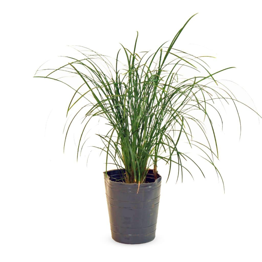 Plantas Faitful Plantas Exterior Pasto Ingles M12 1 - Plantas Faitful