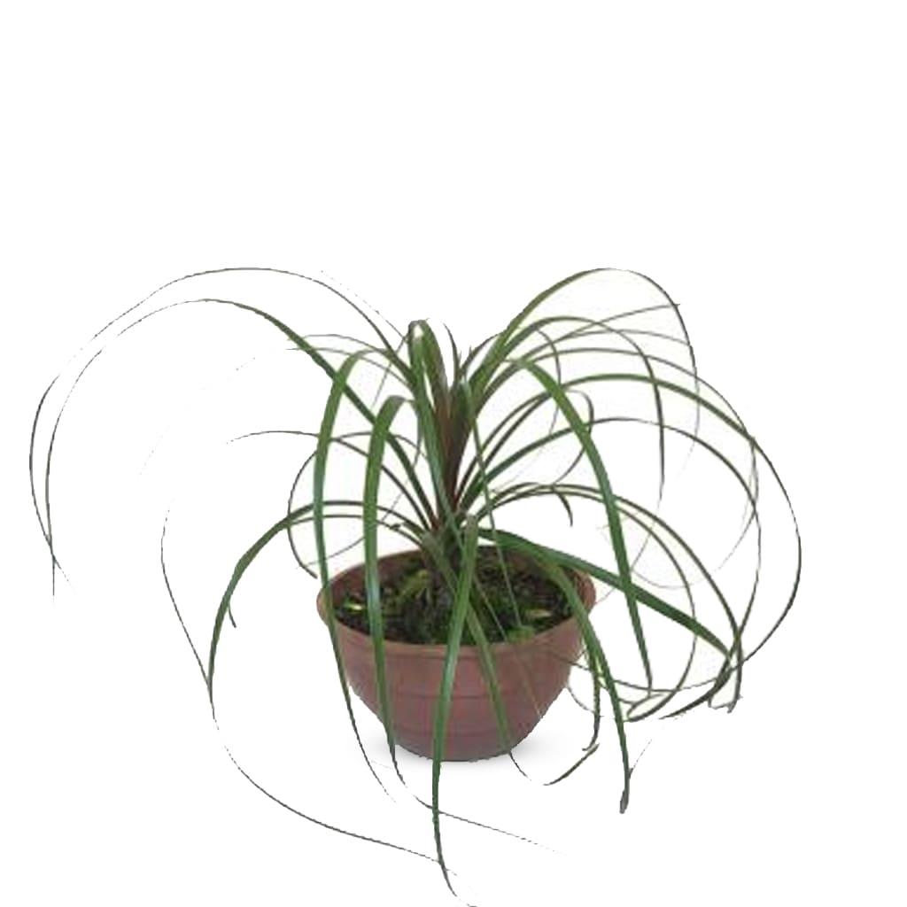 Plantas Faitful Plantas Interior Beaucarnea B18 1 1 - Plantas Faitful