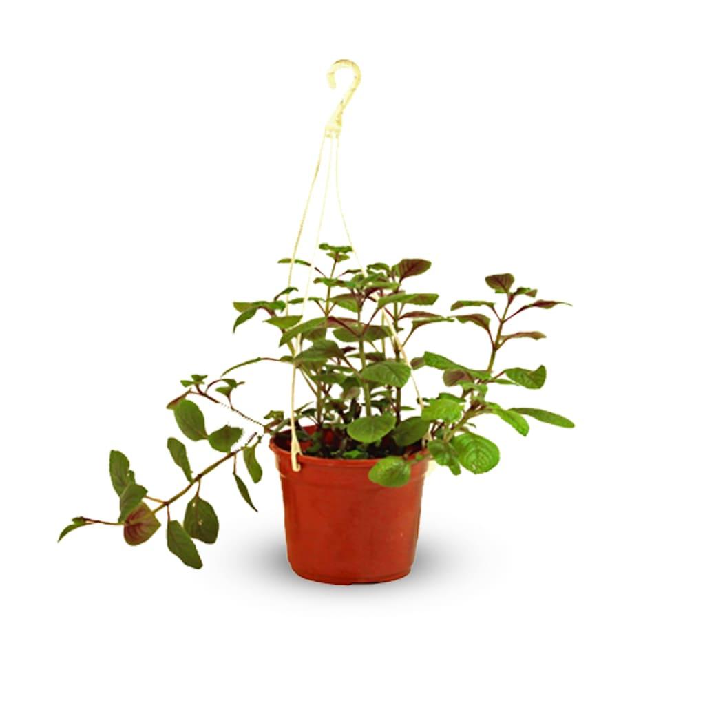 Plantas Faitful Plantas Interior Dolar B18 - Plantas Faitful