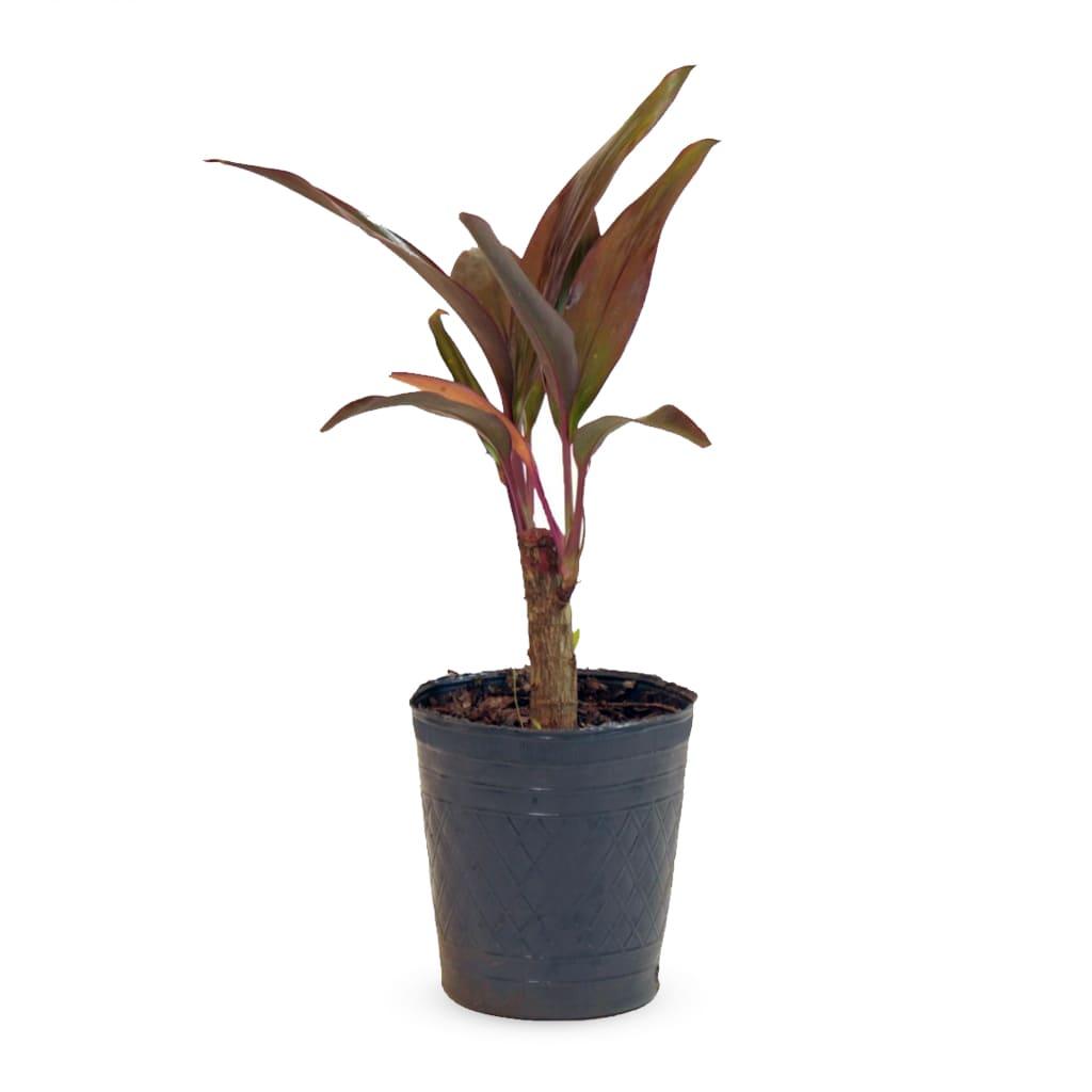 Plantas Faitful Plantas Interior Dracaena Rubra M12 1 - Plantas Faitful