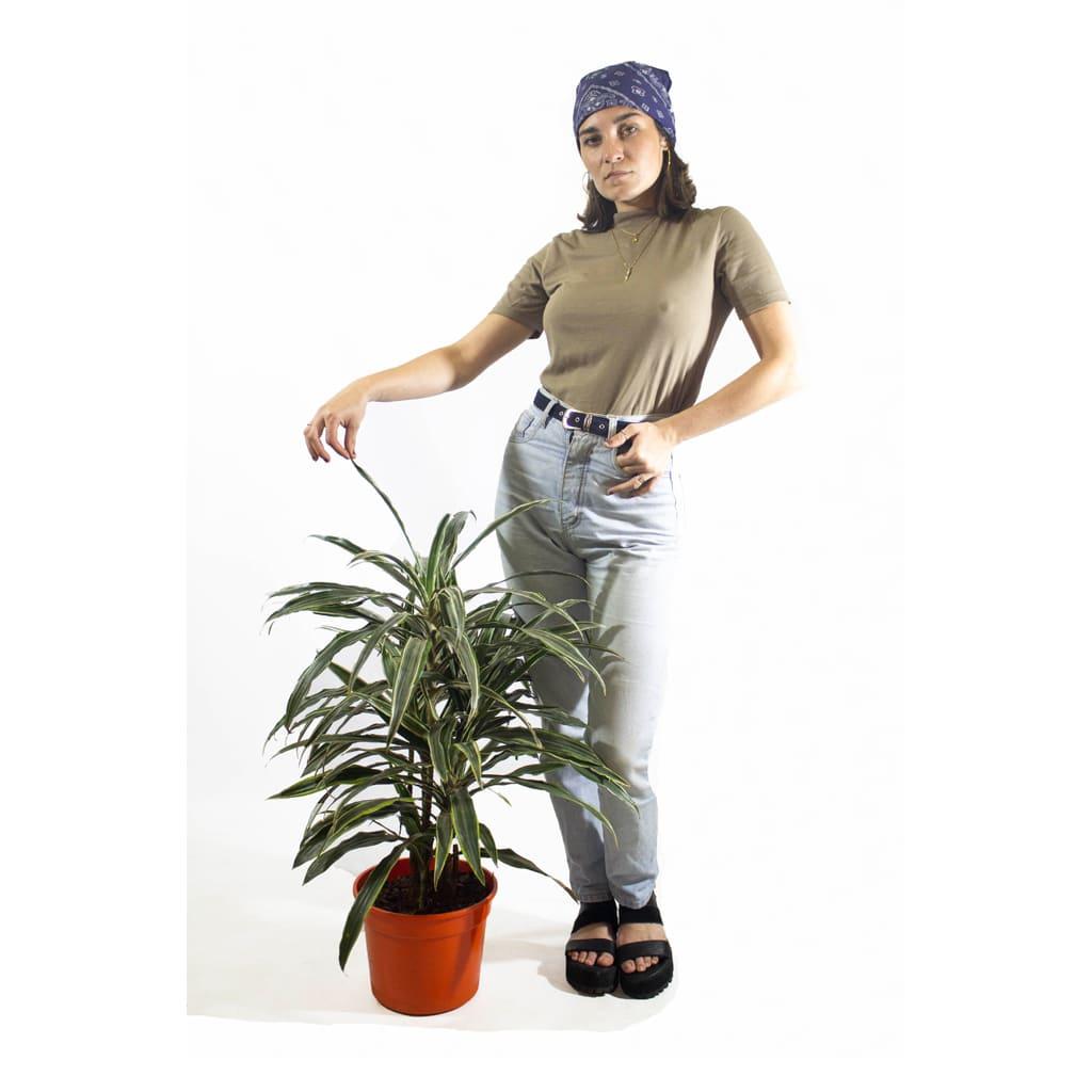 Plantas Faitful Plantas Interior Dracaena Warneckii M25 Dimension 2 1 - Plantas Faitful