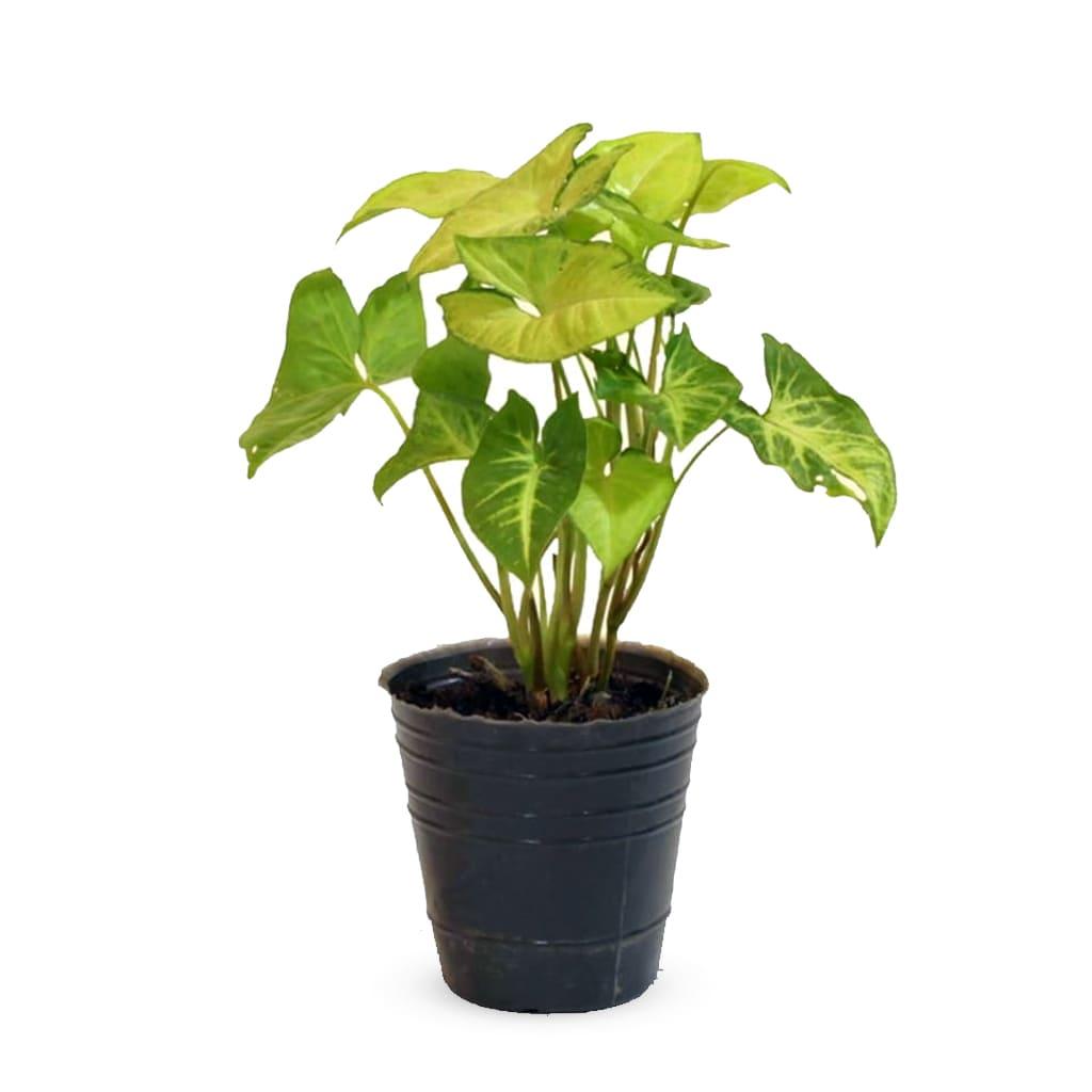 Plantas Faitful Plantas Interior Syngonium M12 1 1 - Plantas Faitful