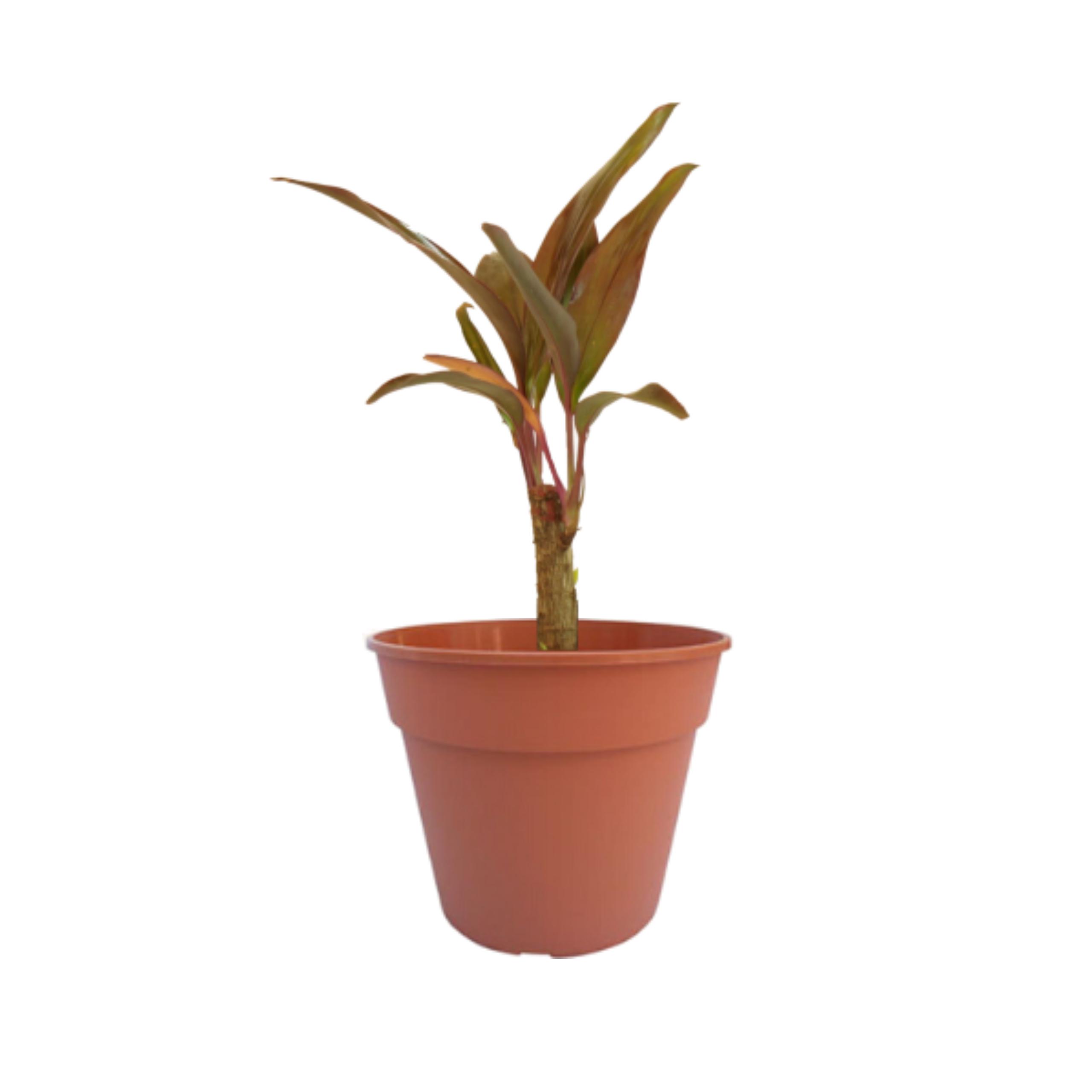 Dracaena Rubra – Tamaños varios