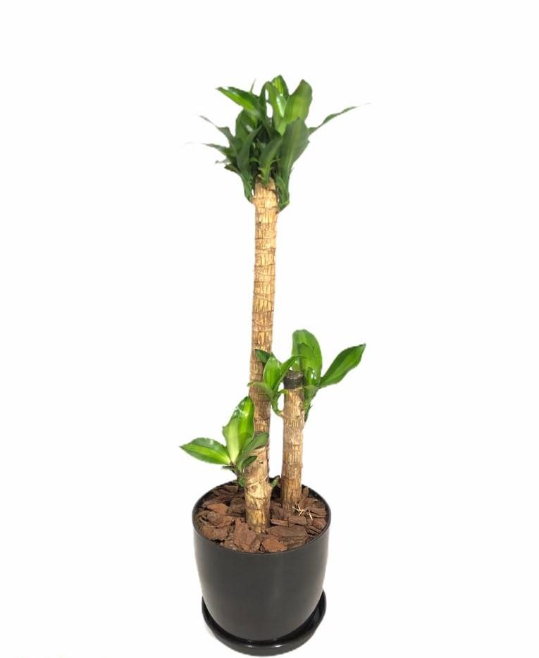 Dracaena massangeana en maceta premium