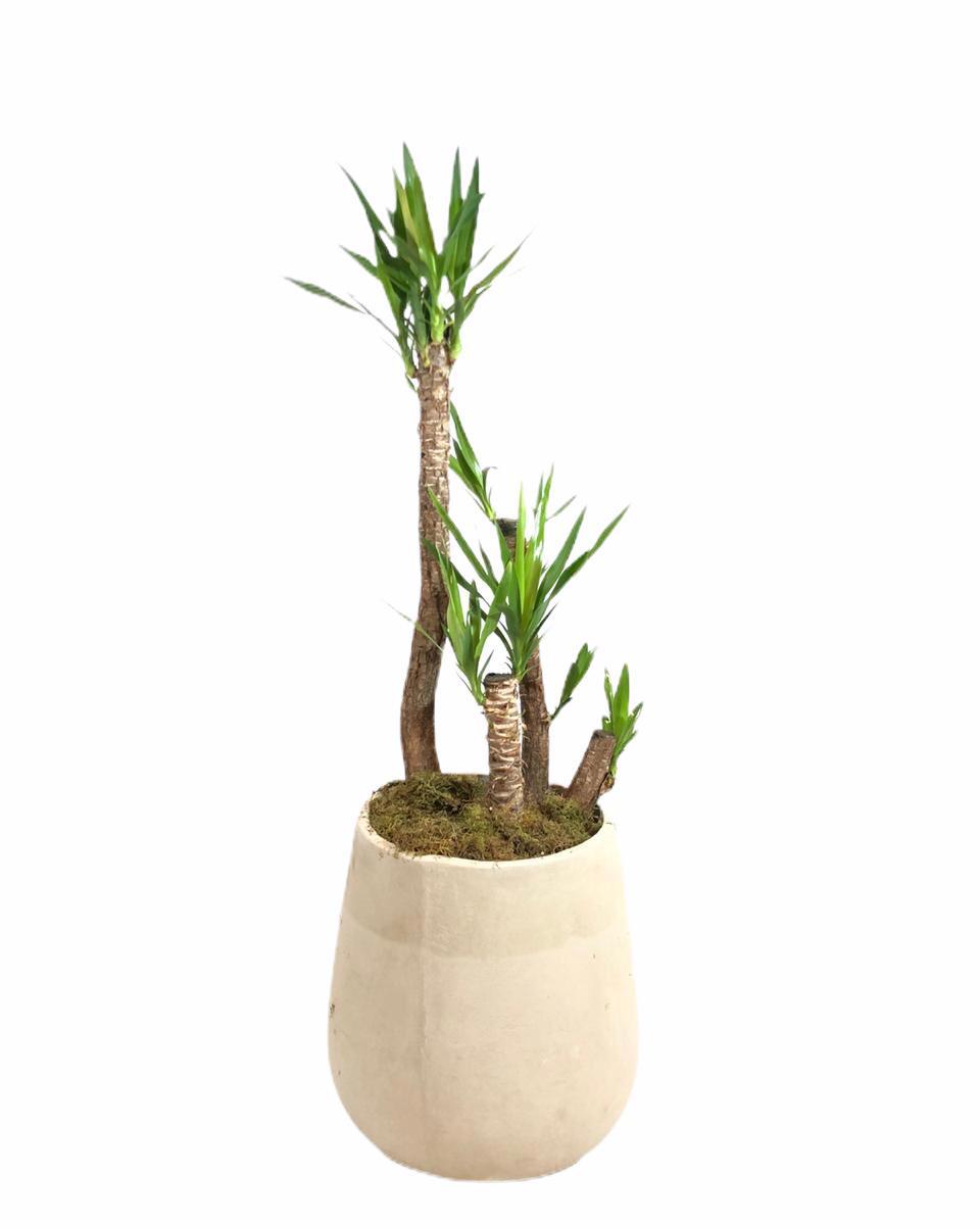 Yucca en misionera de fibrocemento