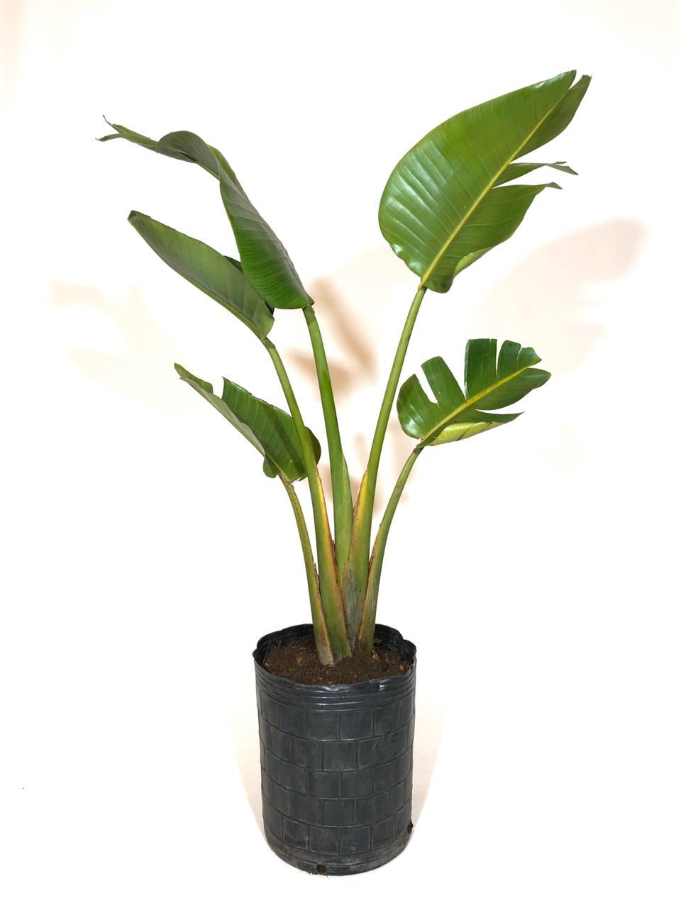 Sterlitzia Nicolai en envase de 15 litros