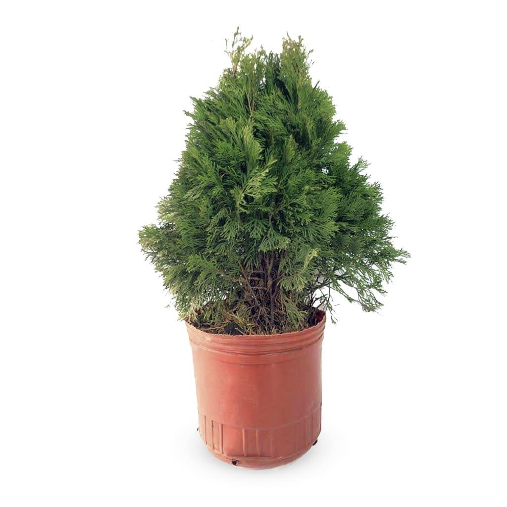 Plantas Faitful Plantas Exterior Thuja E10 1 1 - Plantas Faitful